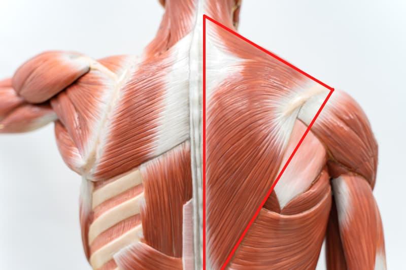 muscoli trapezi